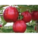 Jabłonie i Grusze