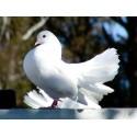 Gołębie oraz ptaki ozdobne