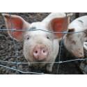 Hodowla świń